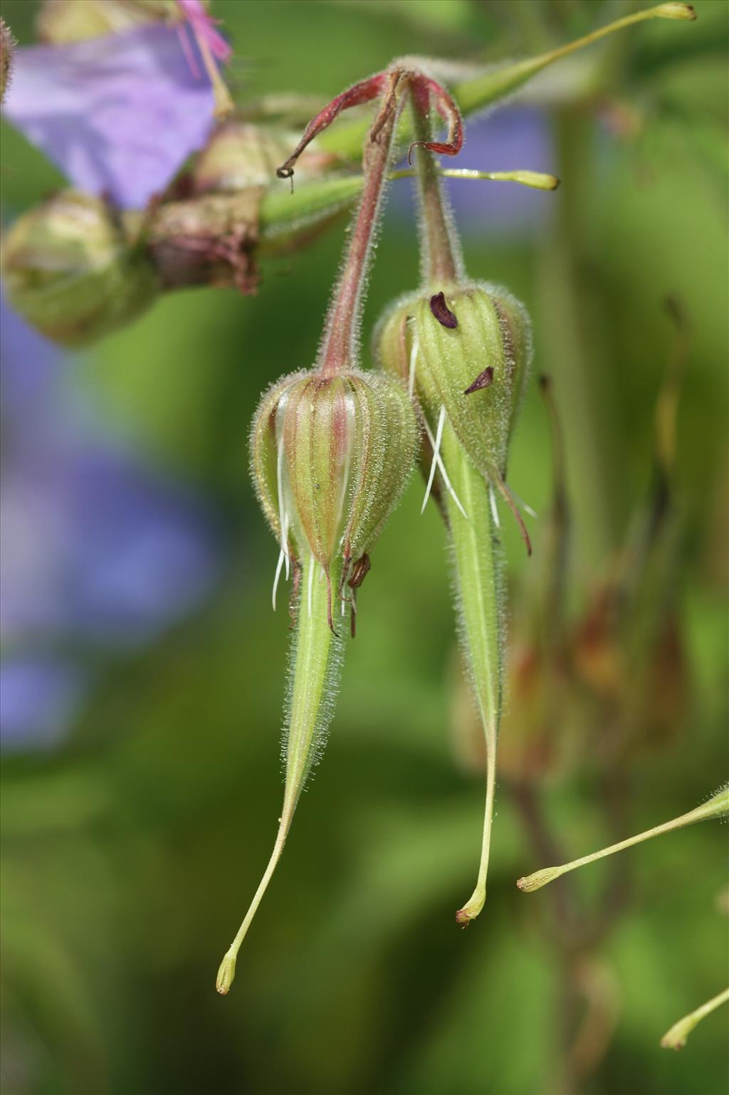 Geranium pratense (door Edwin de Weerd)
