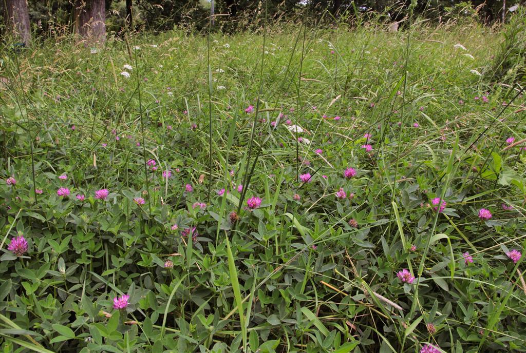 Trifolium medium (door Jelle Hofstra)