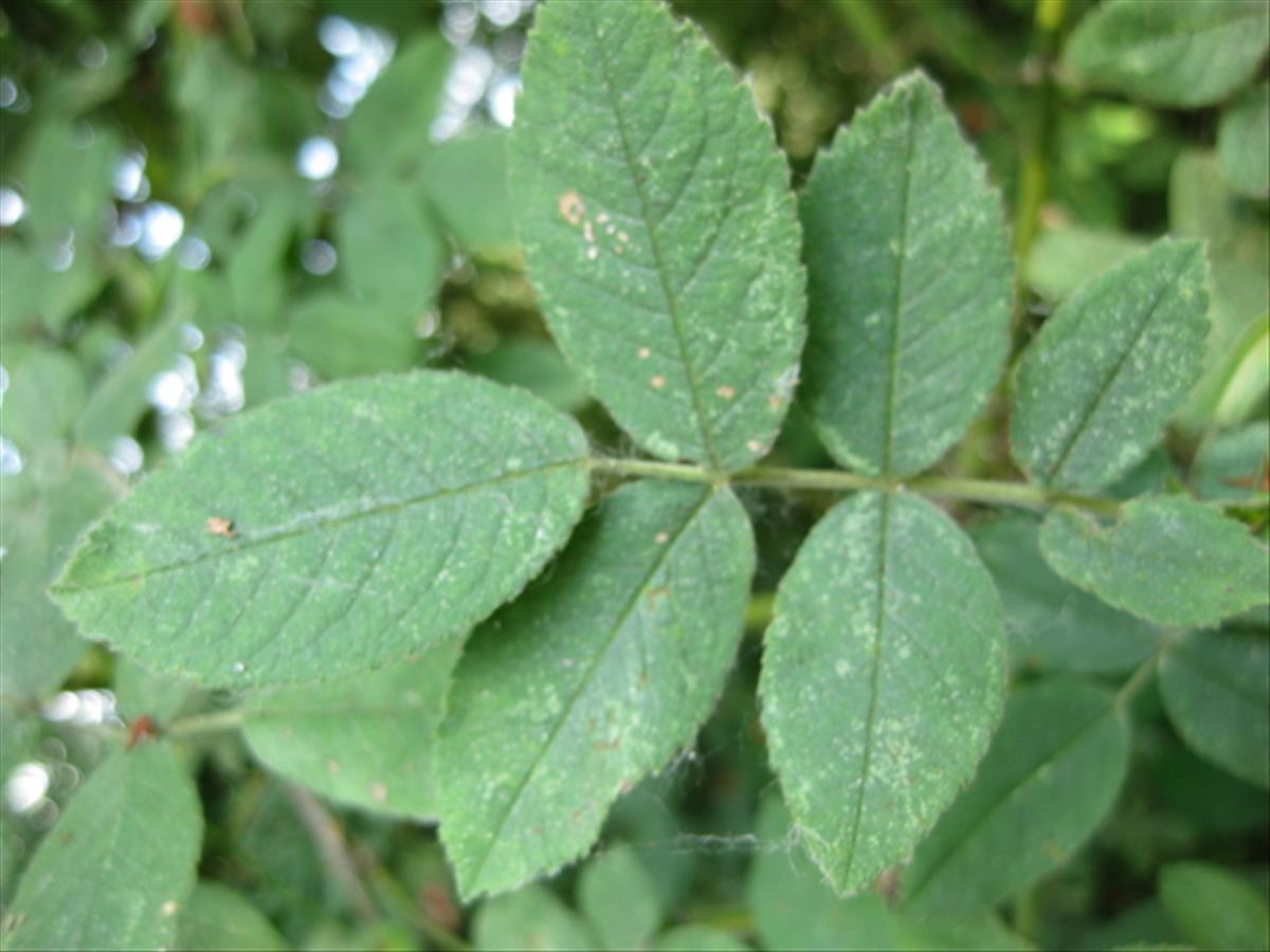 Rosa pseudoscabriuscula (door Sipke Gonggrijp)