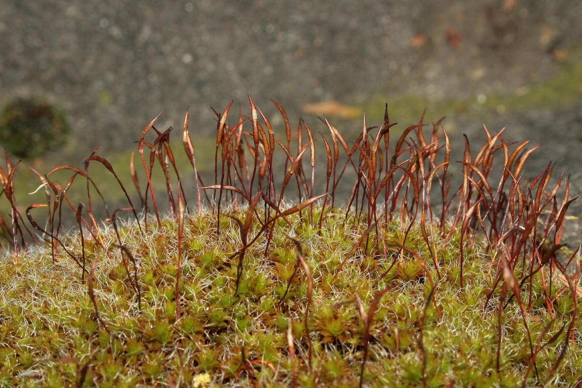 Syntrichia ruralis var. calcicola (door Jan Kersten)