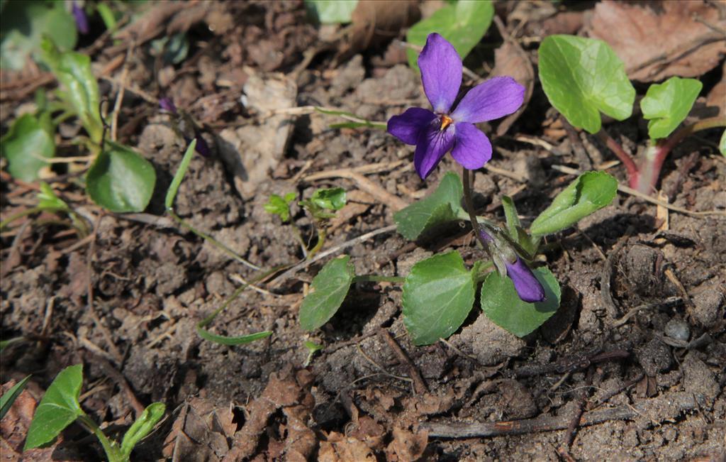 Viola odorata (door Jelle Hofstra)