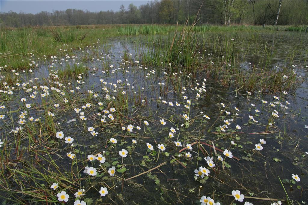 Ranunculus peltatus (door Jelle Hofstra)