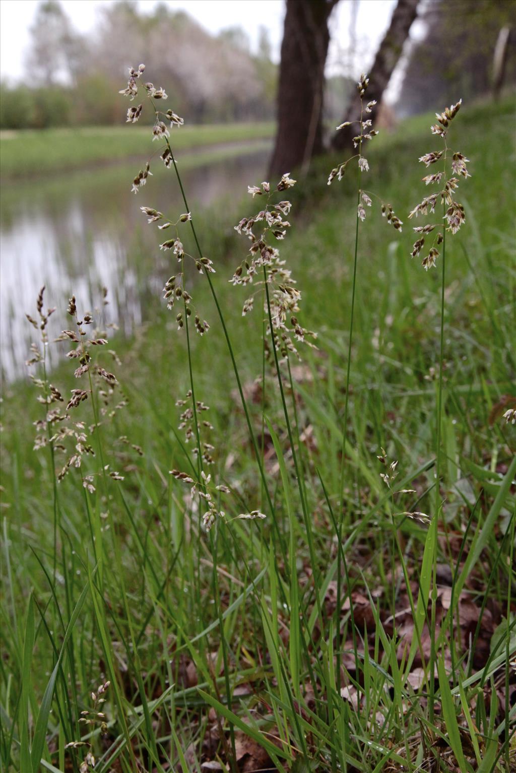 Hierochloe odorata (door Jelle Hofstra)
