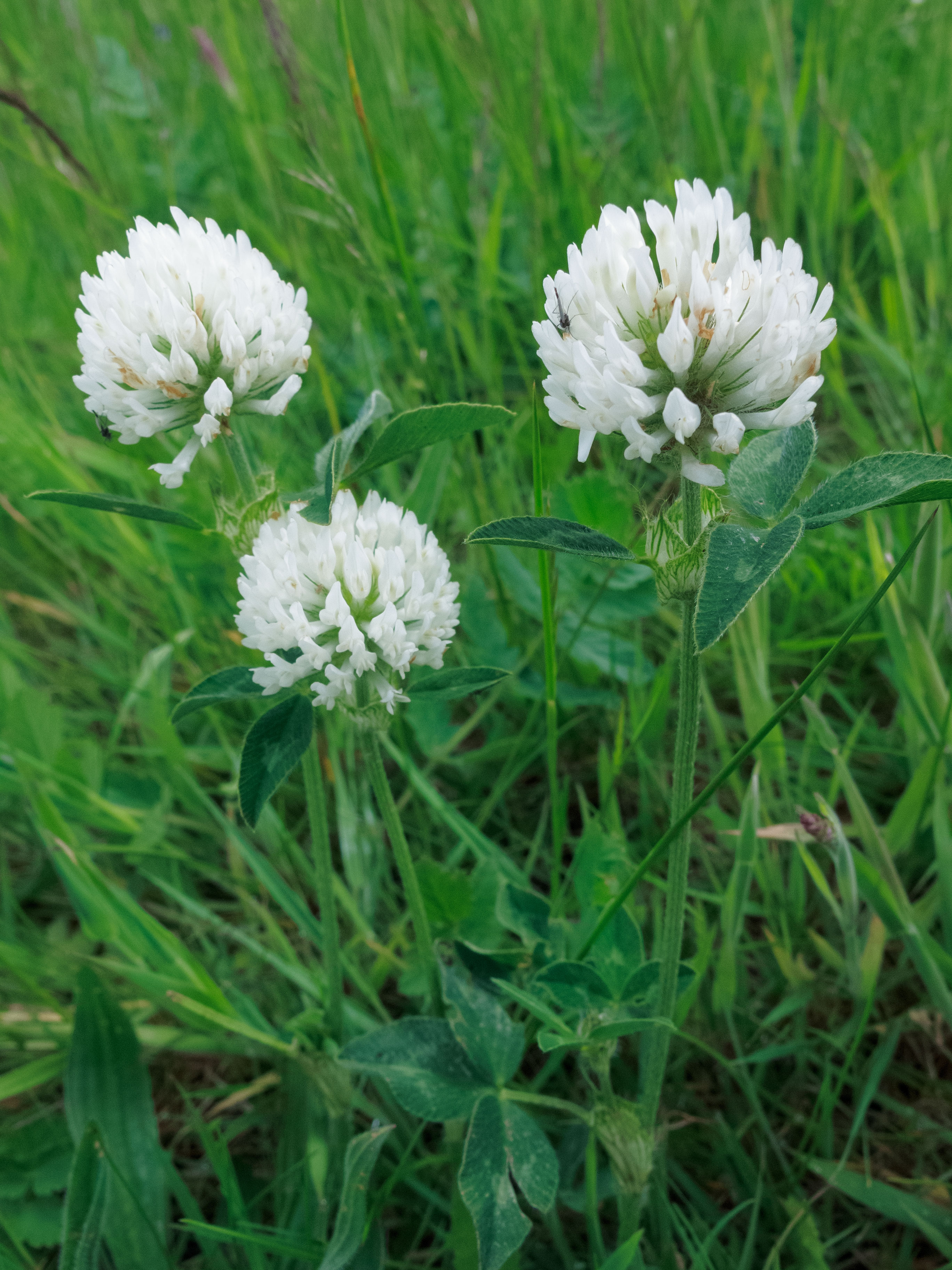 Trifolium pratense (door Alfred Huizinga)