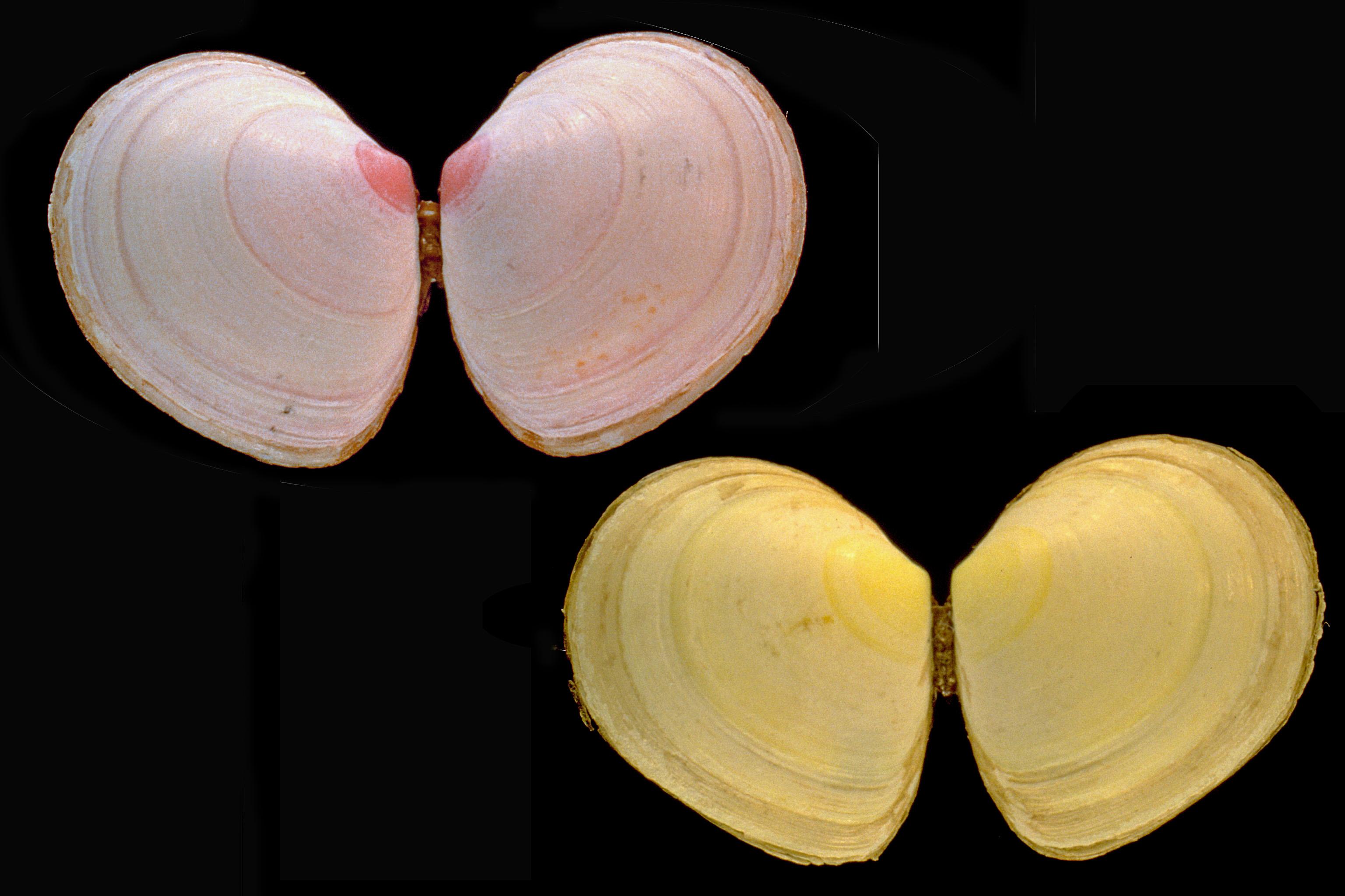 Macoma balthica (door Adriaan Gmelig Meyling Sr.)