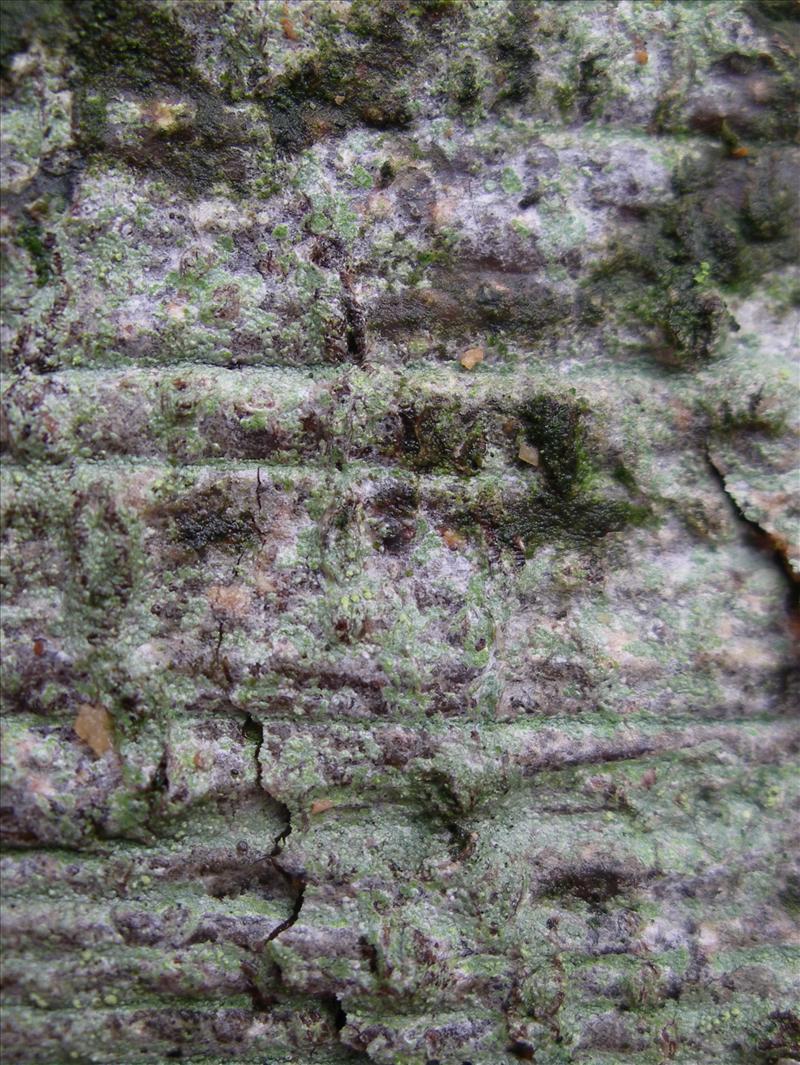 Buellia griseovirens (door Arie van den Bremer)