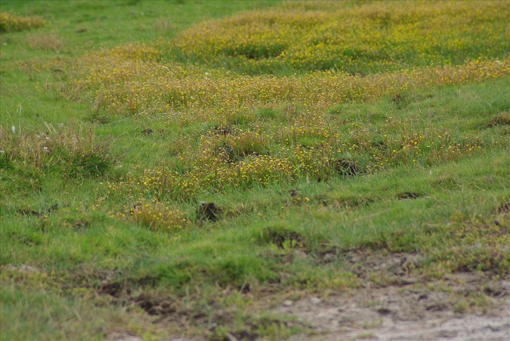 Cotula coronopifolia (door Pieter van Rijswijk)