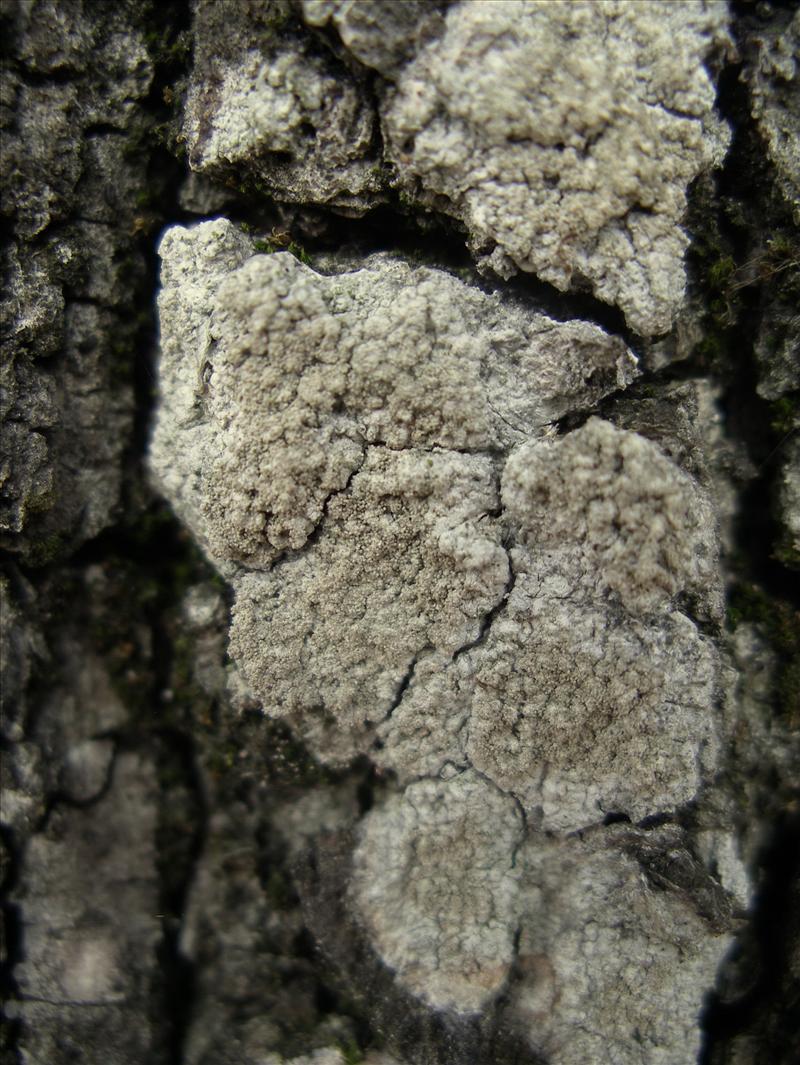 Pertusaria coccodes (door Arie van den Bremer)