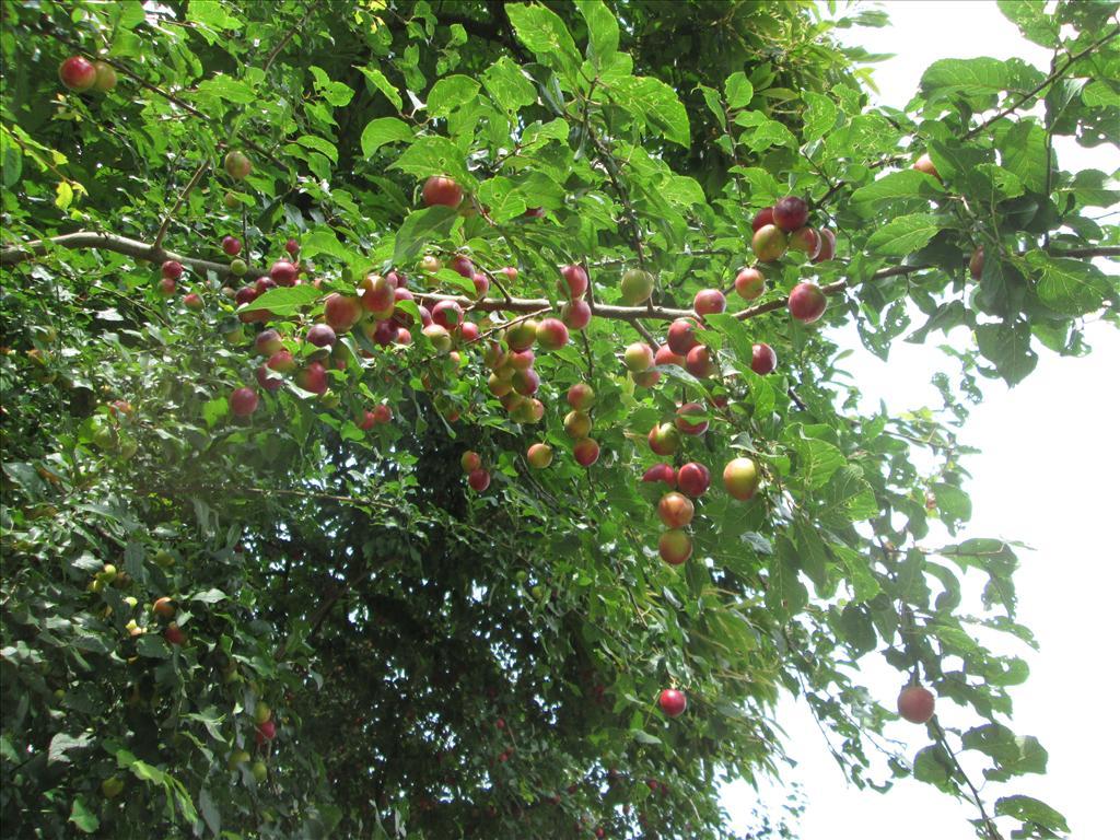 Prunus cerasifera (door Toon Verrijdt)