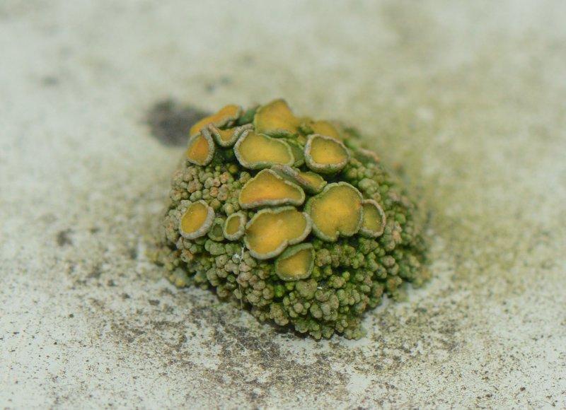 Polycauliona polycarpa (door Erik van Dijk)