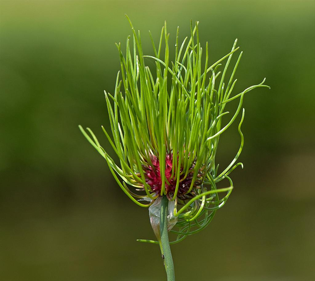 Allium vineale (door Wijnand van Buuren)