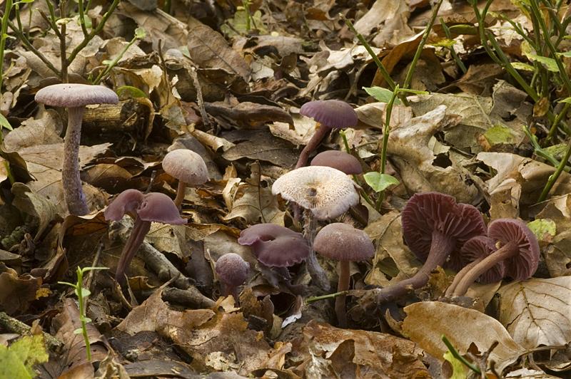 Laccaria amethystina (door Nico Dam)
