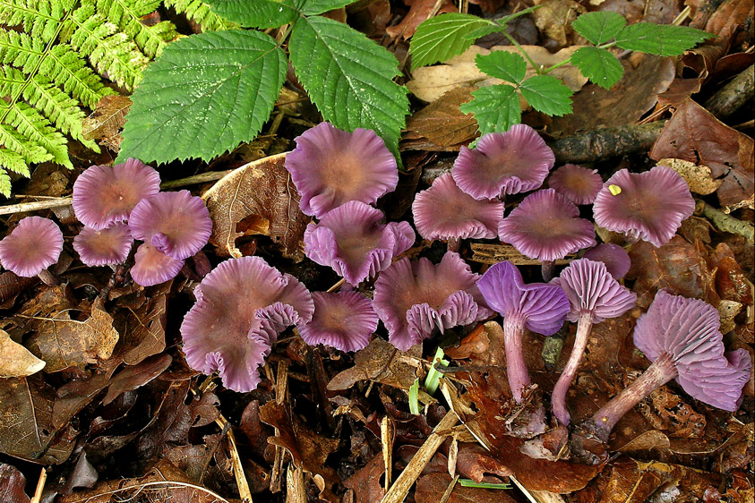 Laccaria amethystina (door Henk Huijser)