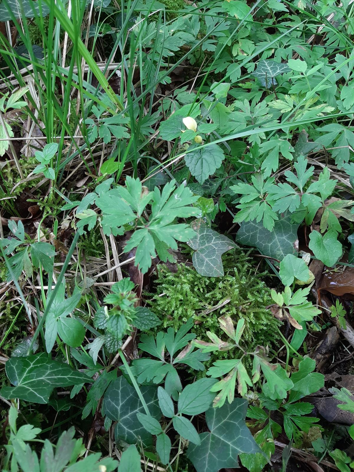 Lamiastrum galeobdolon subsp. galeobdolon s.s. (door Ruud Beringen)