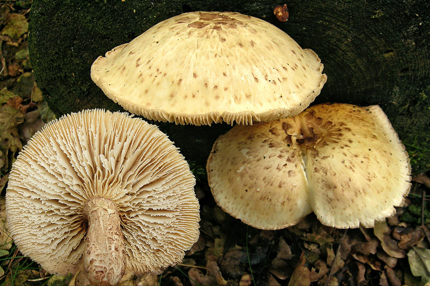 Neolentinus lepideus (door Henk Huijser)
