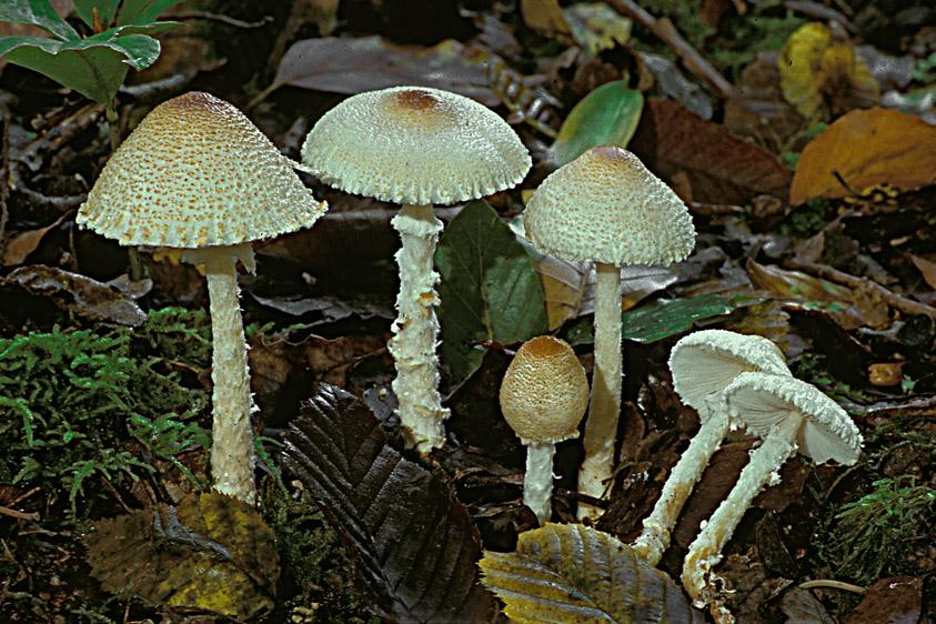 Lepiota clypeolaria (door Henk Huijser)