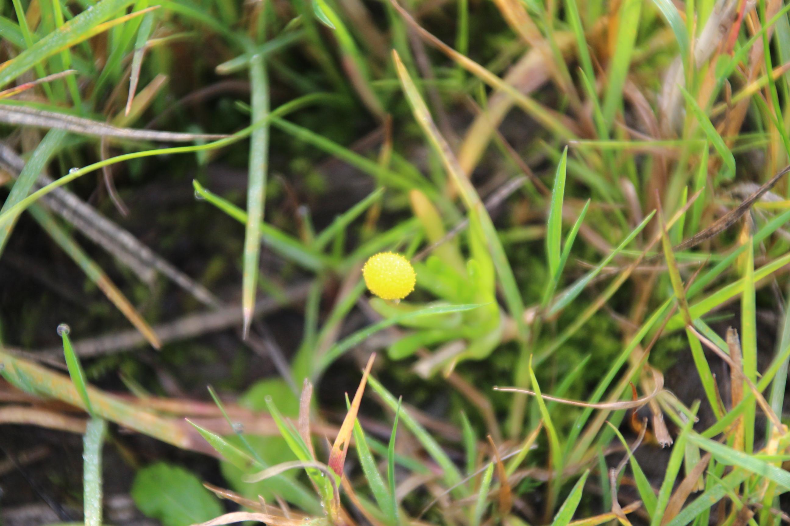 Cotula coronopifolia (door Egbert de Boer)