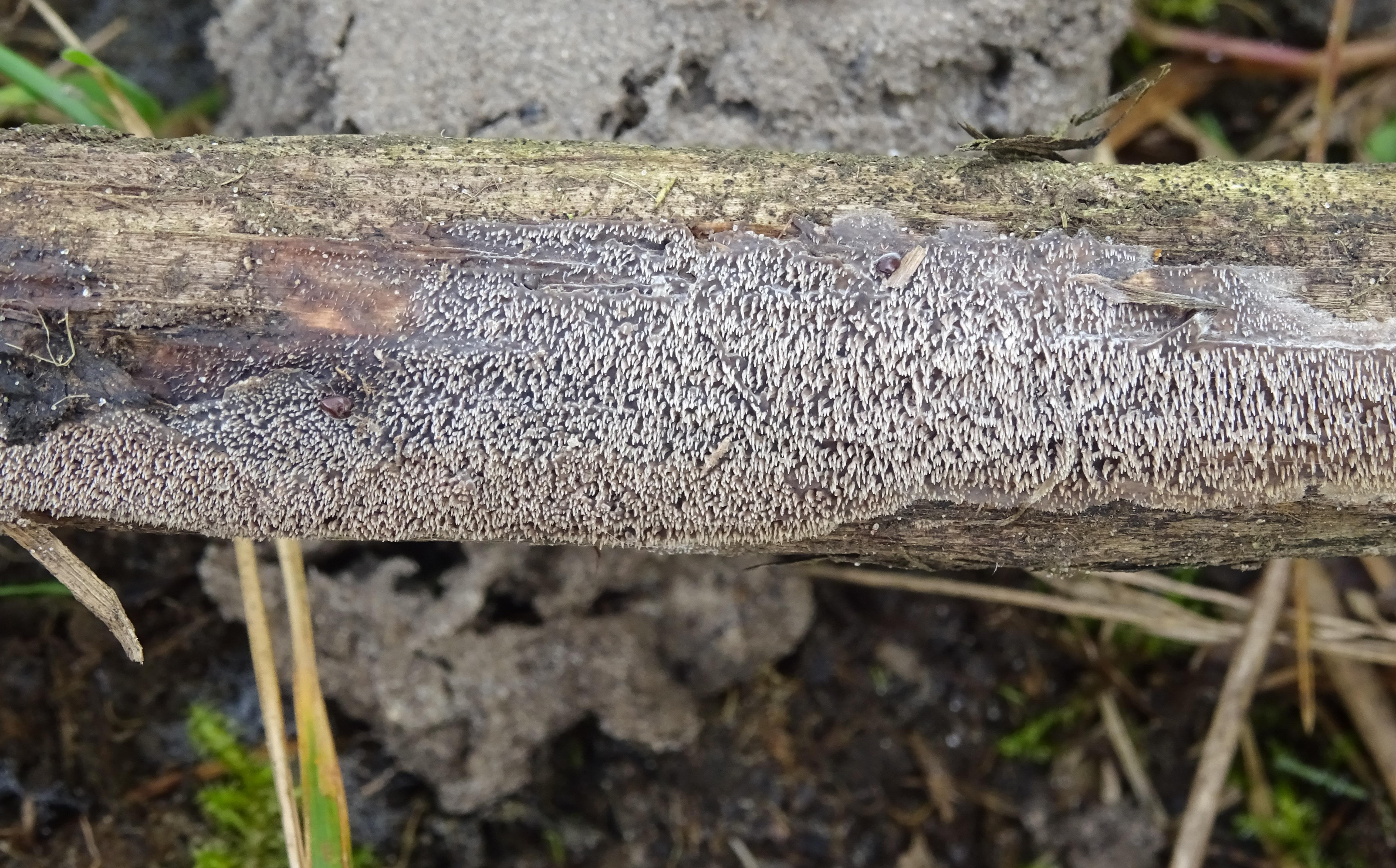Mycoacia fuscoatra (door Roeland Enzlin)