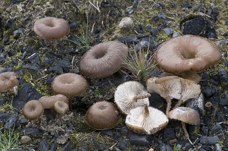 Myxomphalia maura (door Nico Dam)