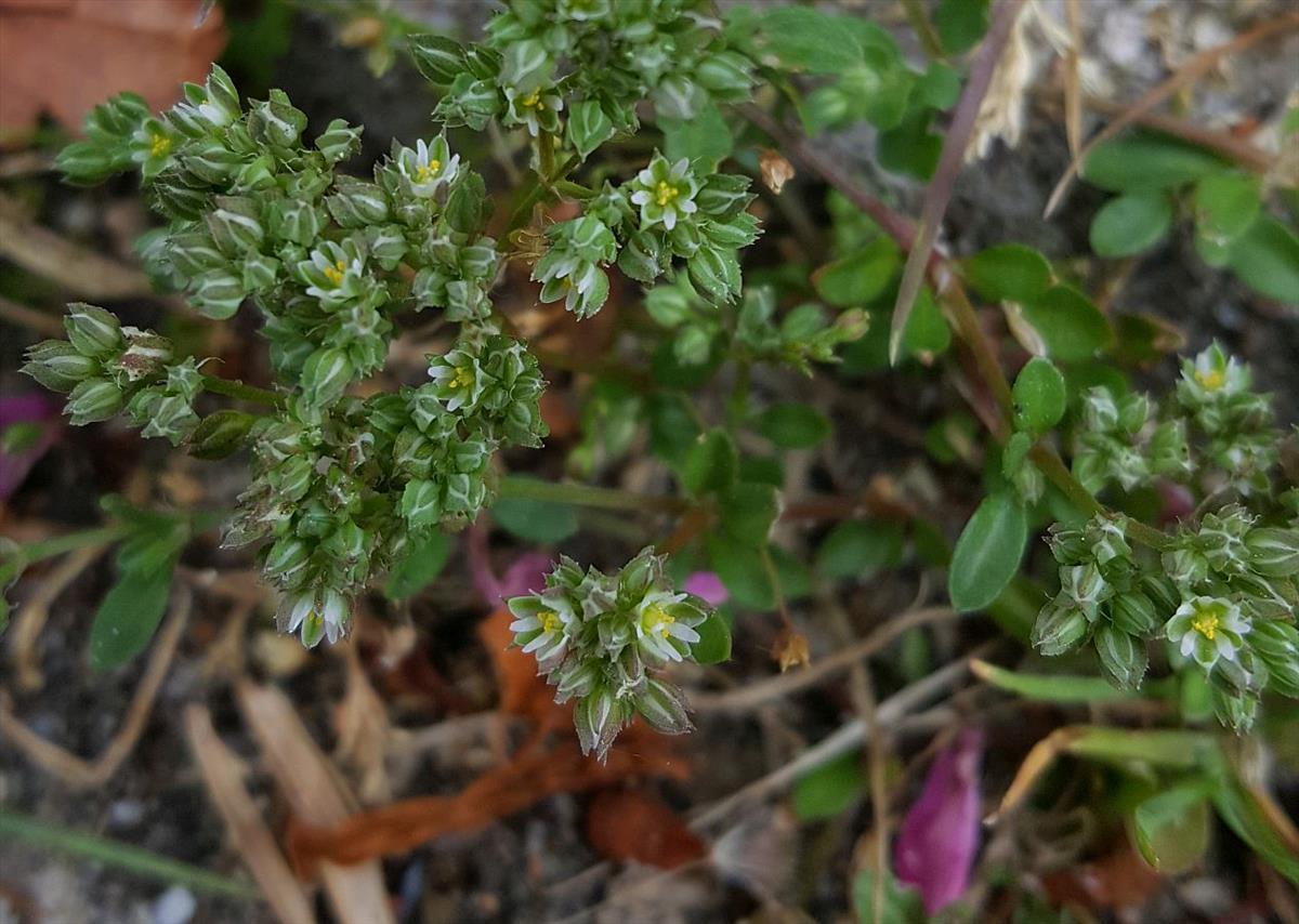 Polycarpon tetraphyllum (door Hanneke Waller)