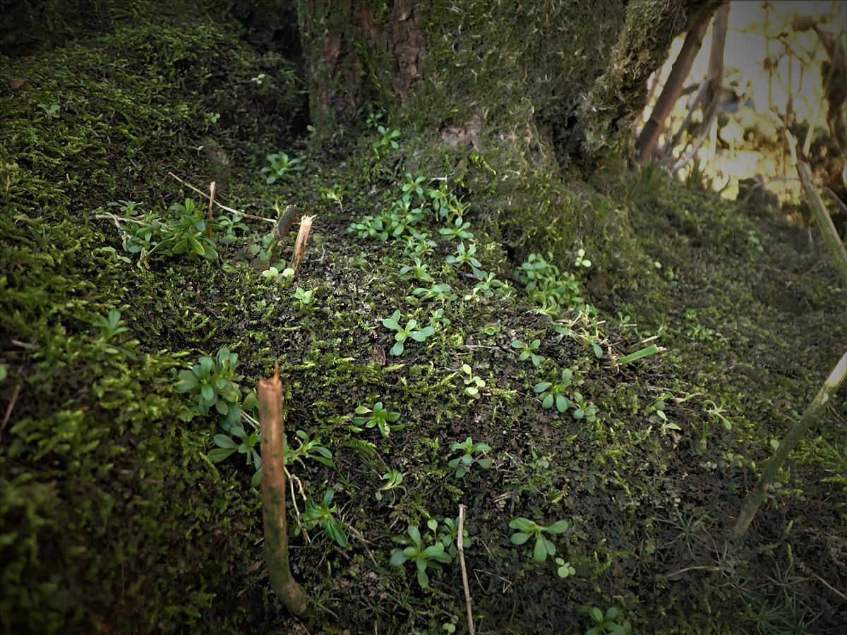 Cerastium fontanum subsp. holosteoides (door Stef van Walsum)