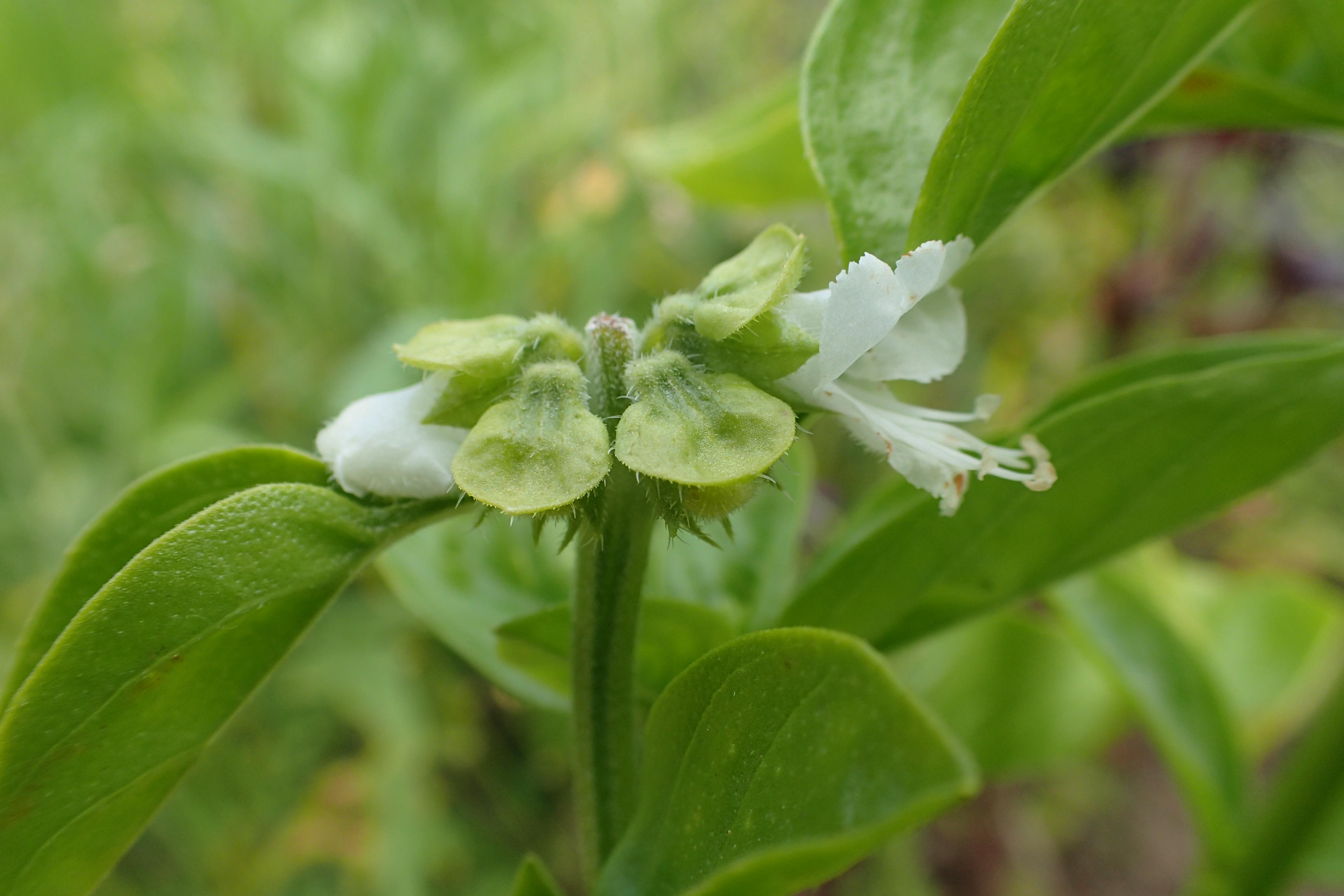 Ocimum basilicum (door Adrie van Heerden)