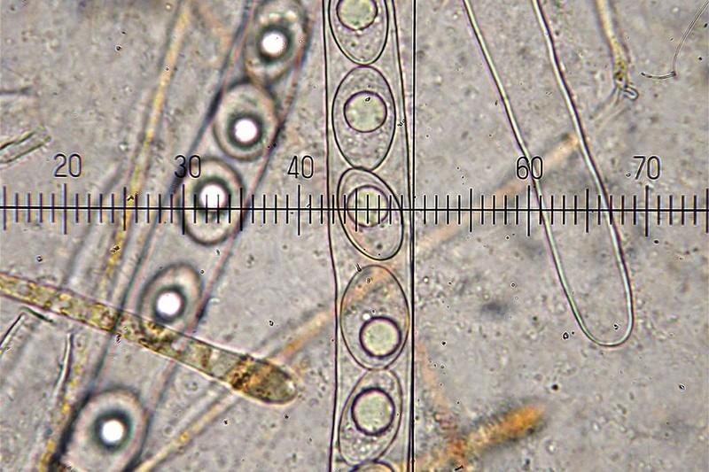 Octospora roxheimii (door Laurens van Run)