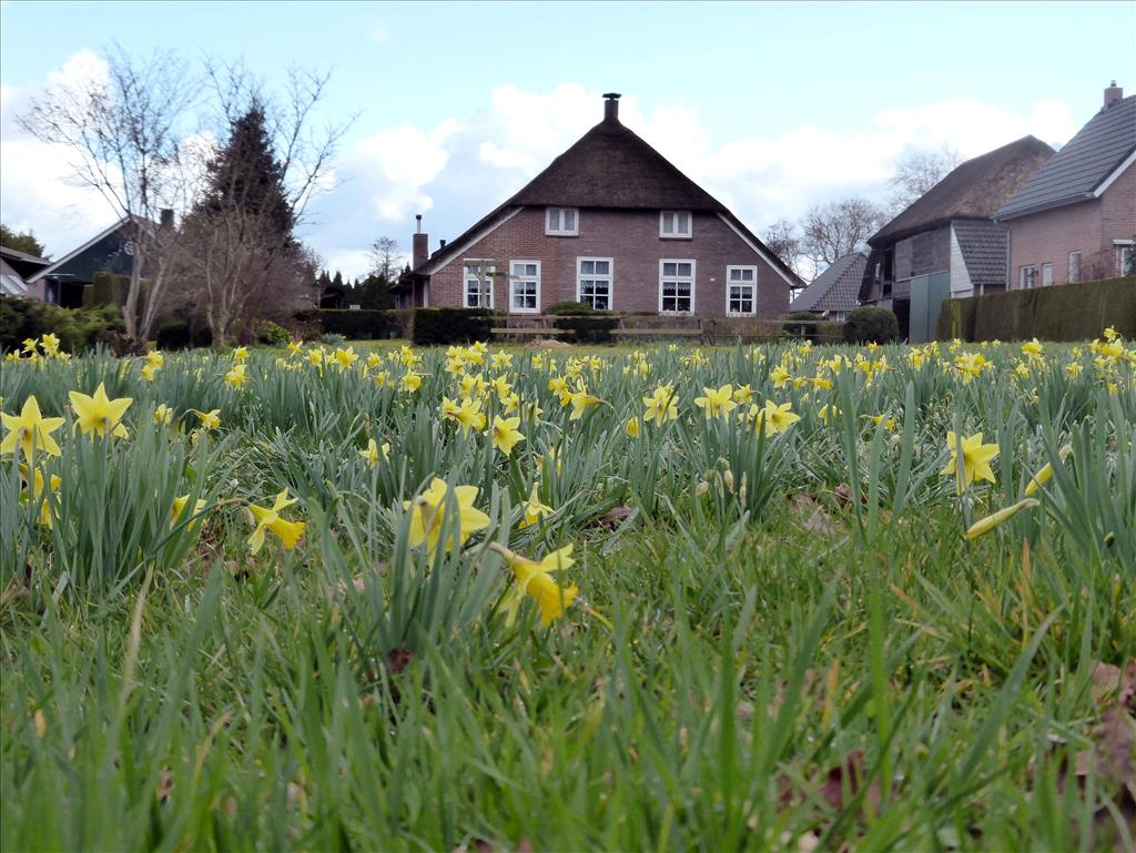 Narcissus pseudonarcissus subsp. pseudonarcissus (door Michiel Poolman)