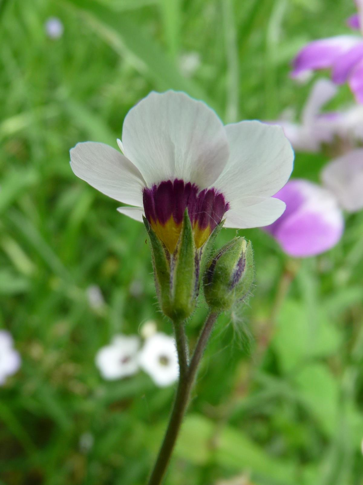 Gilia tricolor (door Willemien Troelstra)