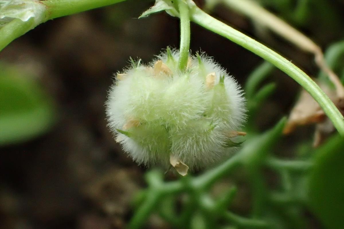 Trifolium tomentosum (door Sipke Gonggrijp)