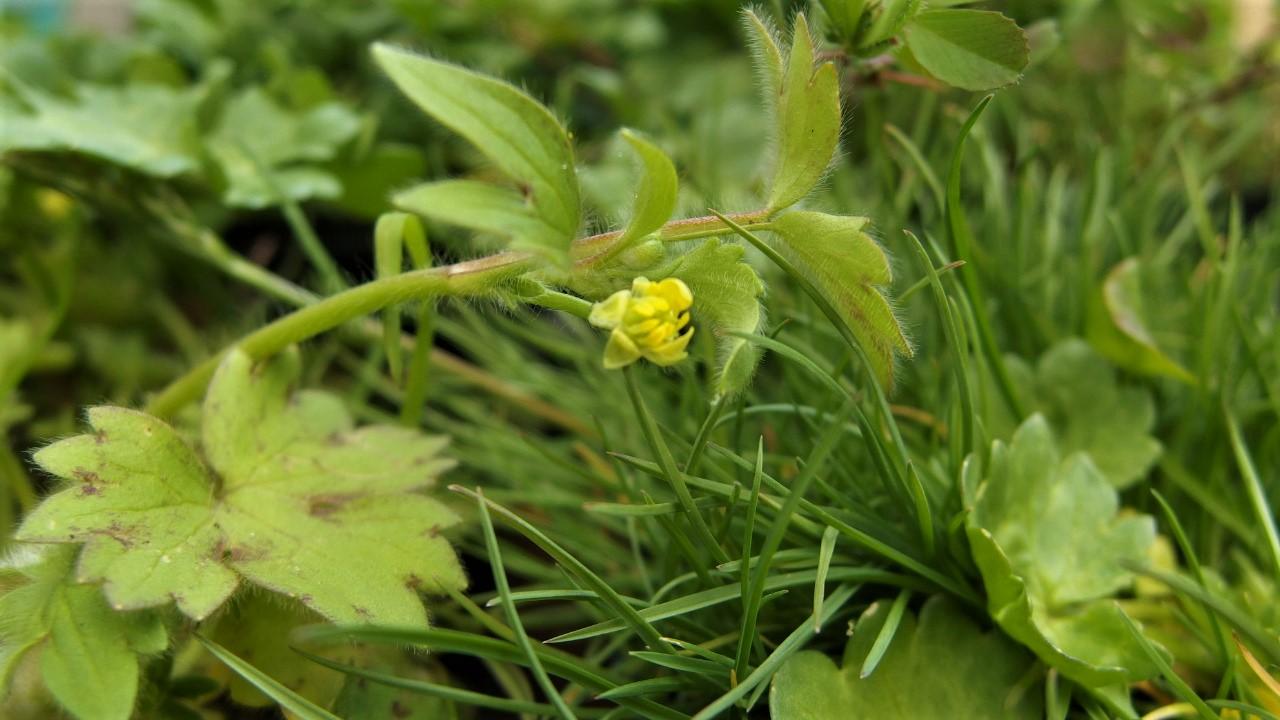 Ranunculus parviflorus (door Sipke Gonggrijp)
