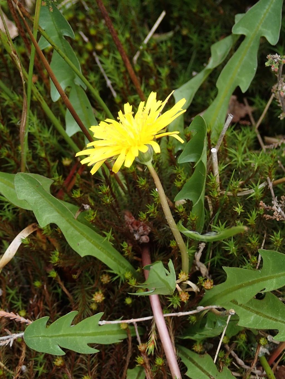 Taraxacum sect. Celtica (door Adrie van Heerden)
