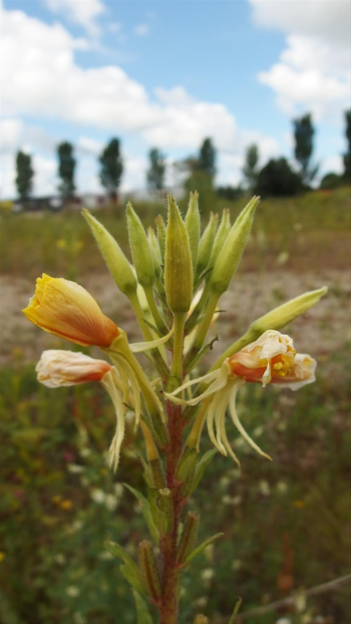 Oenothera rubricaulis (door Sipke Gonggrijp)