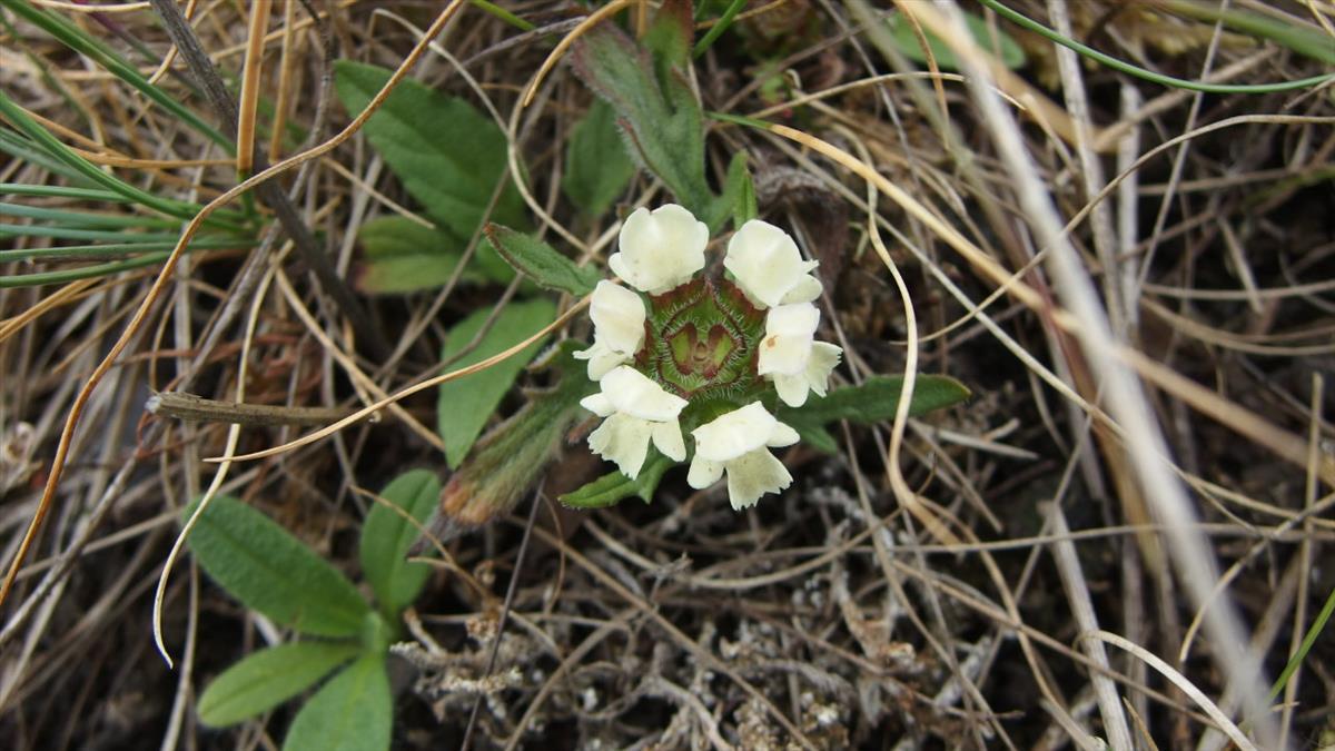 Prunella laciniata (door Sipke Gonggrijp)