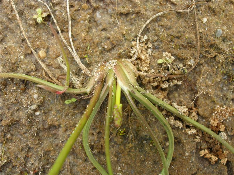 Triglochin palustris (door Piet Bremer )