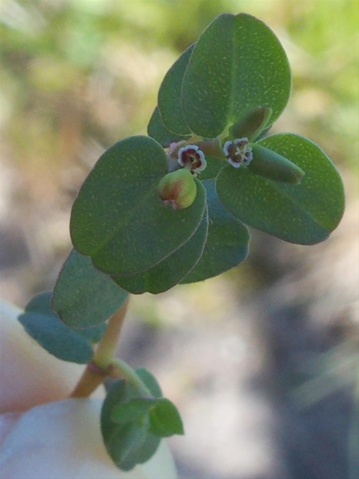 Euphorbia serpens (door Willemien Troelstra)