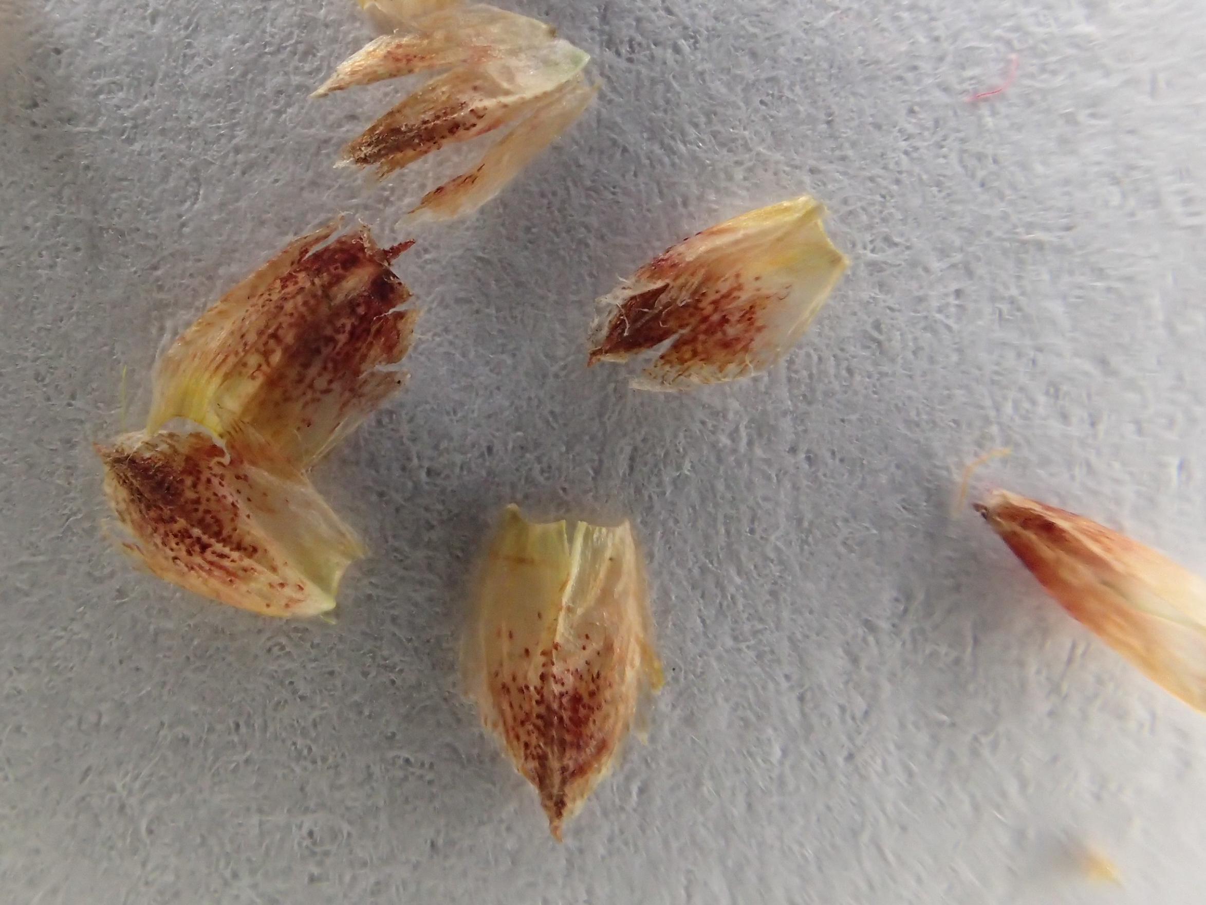Schoenoplectus tabernaemontani (door Peter Hegi)
