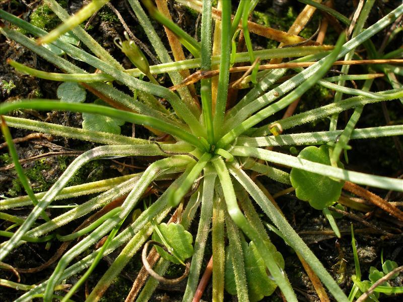 Littorella uniflora (door Piet Bremer )