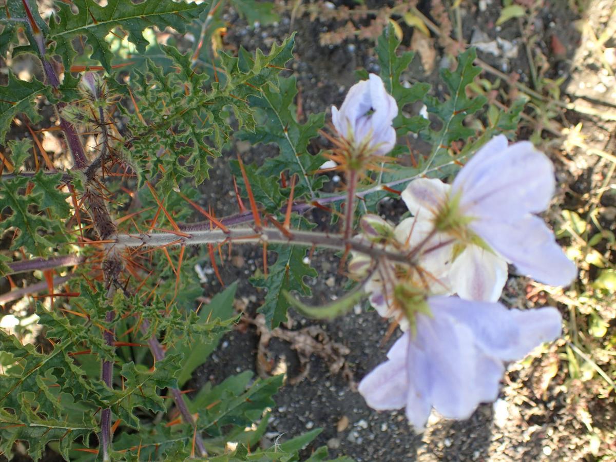Solanum sisymbriifolium (door Sipke Gonggrijp)