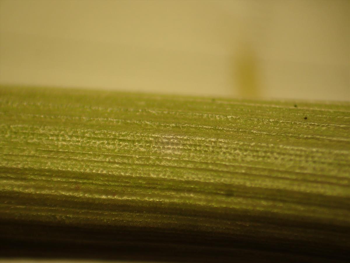 Juncus flavidus (door Sipke Gonggrijp)