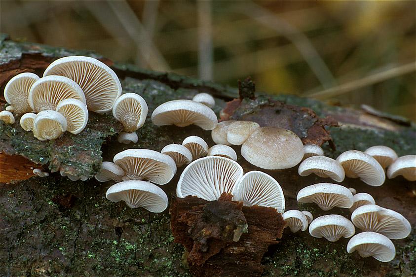 Panellus mitis (door Henk Huijser)