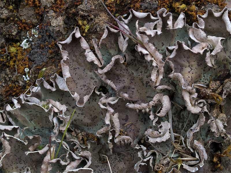 Peltigera leucophlebia (door Bart Horvers)