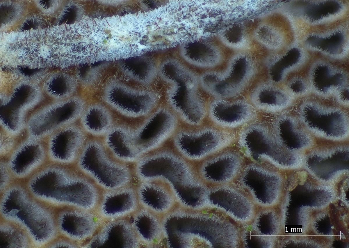 Fuscoporia contigua (door Eduard Osieck)