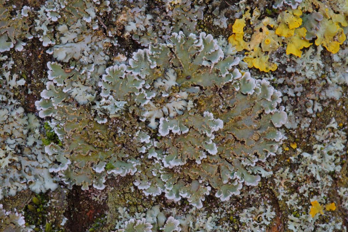 Physconia enteroxantha (door Henk Visser)
