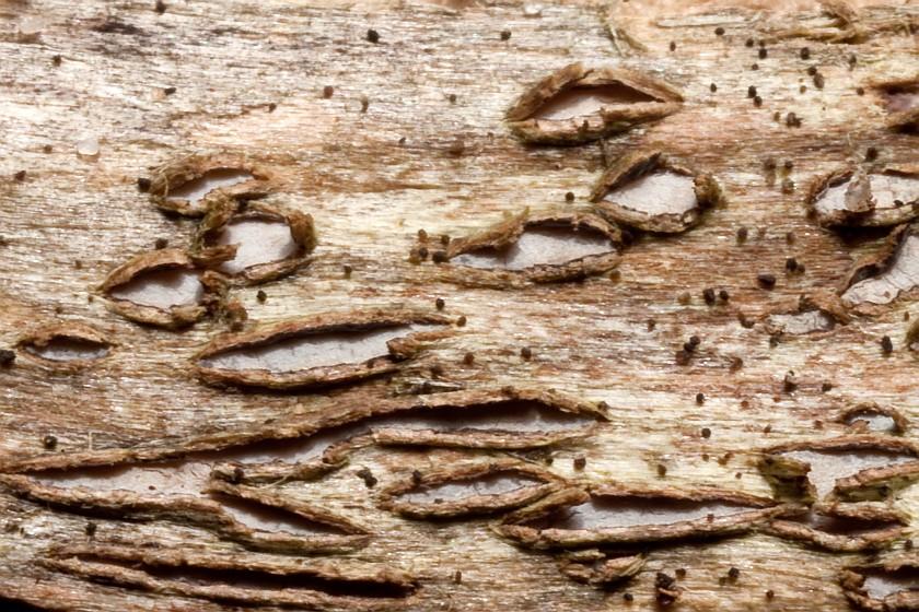 Marthamyces phacidioides (door Aldert Gutter)