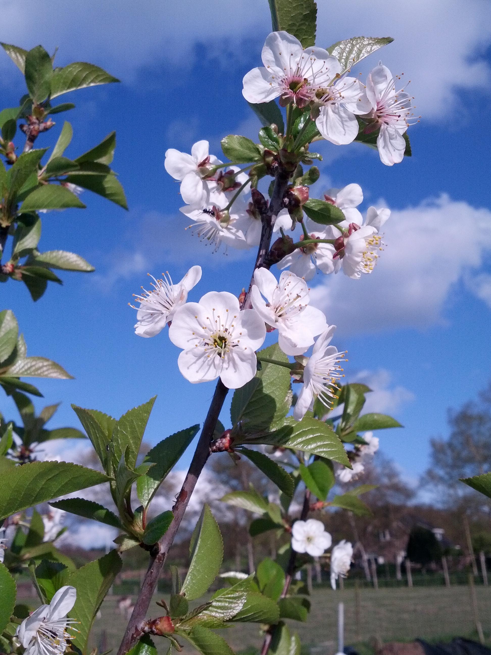 Prunus cerasus (door Ruud Beringen)