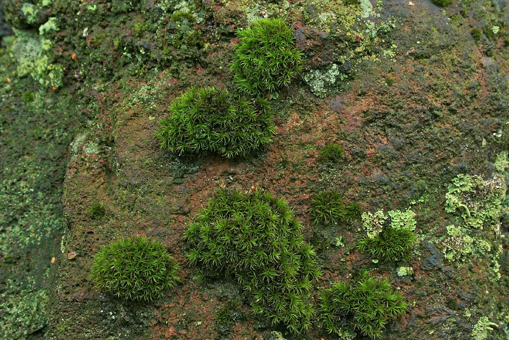 Ptychomitrium polyphyllum (door Jan Kersten)
