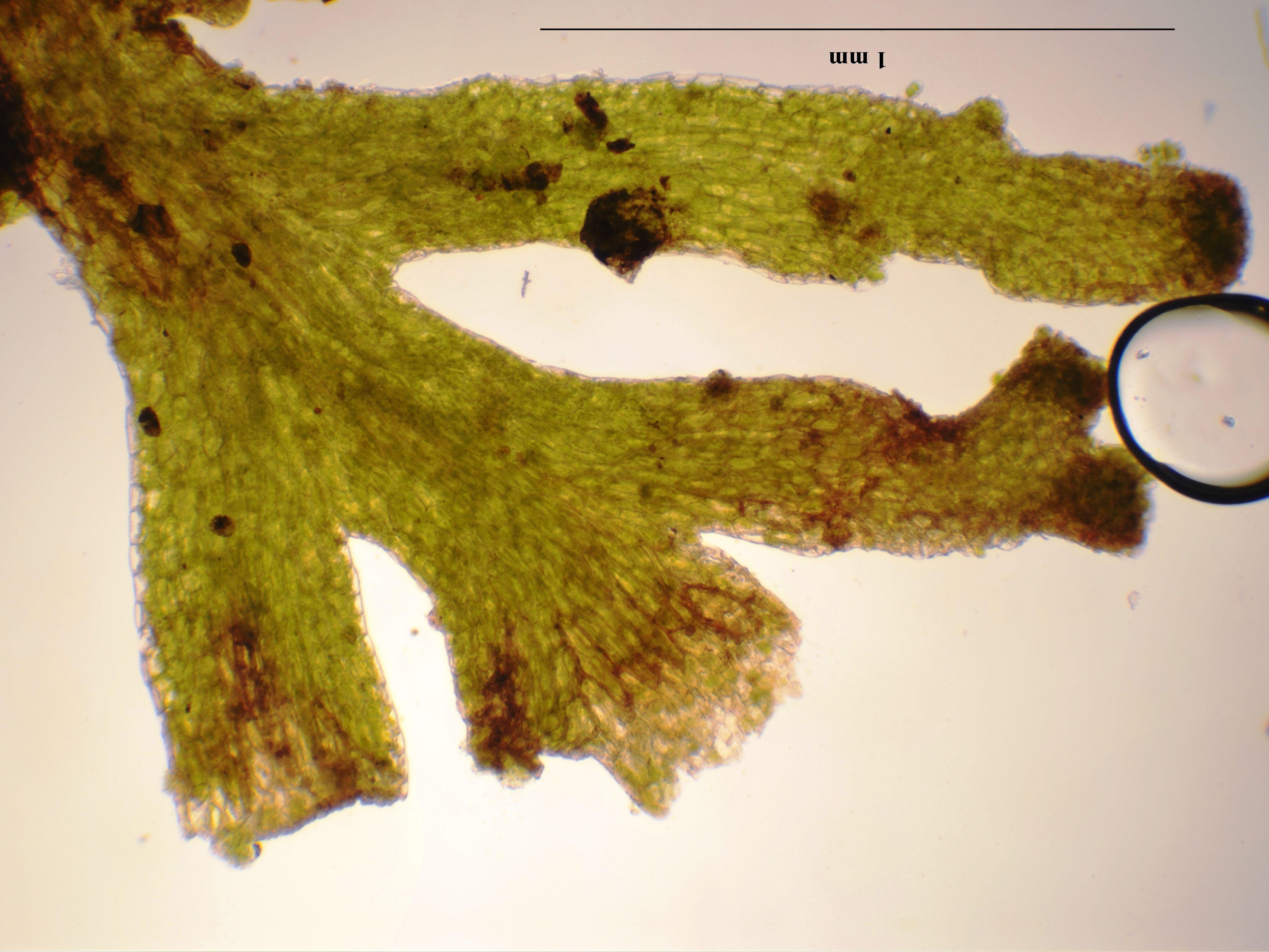 Riccardia palmata (door Rudi Zielman)