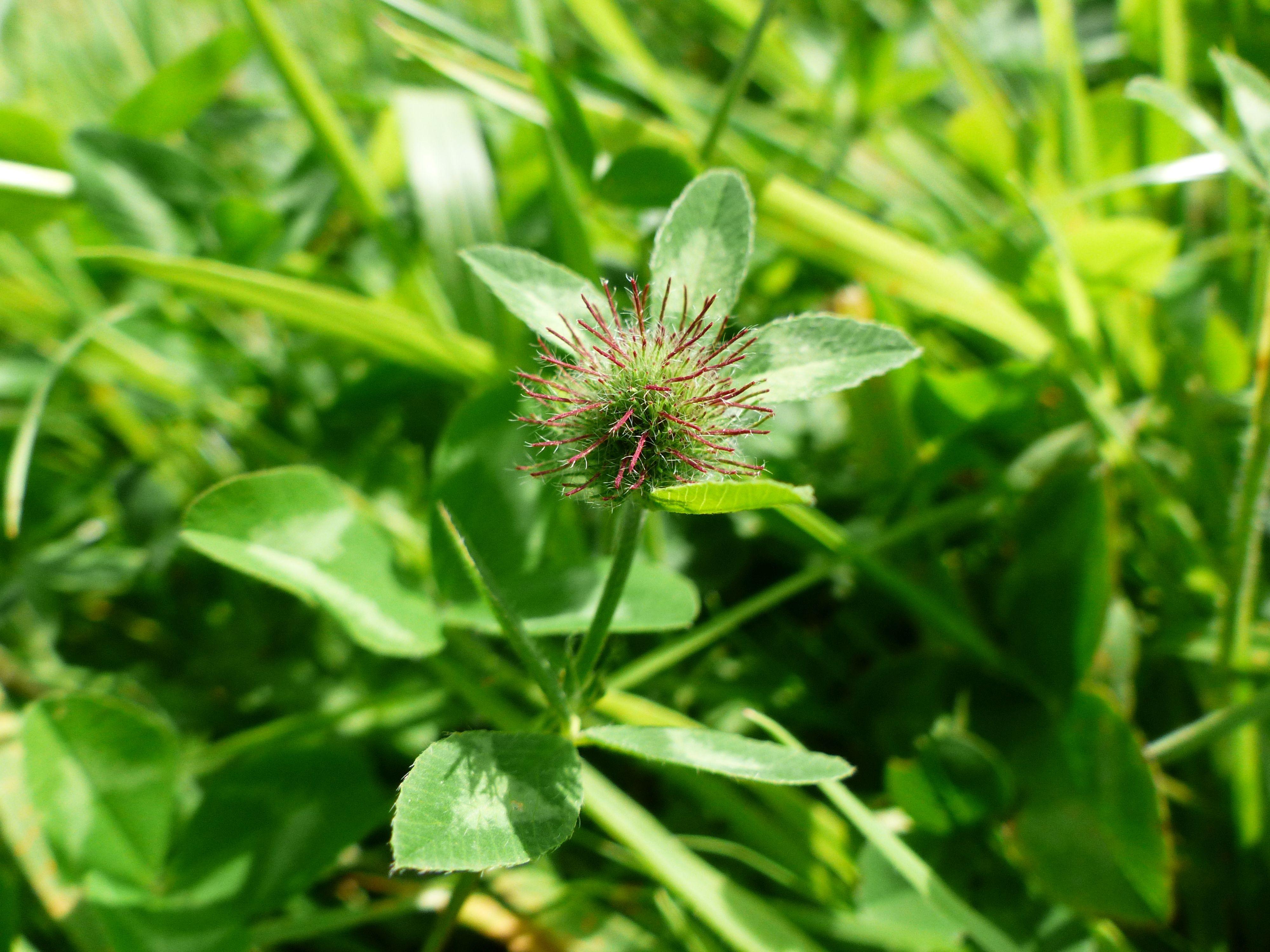 Trifolium pratense (door Leonie Tijsma)