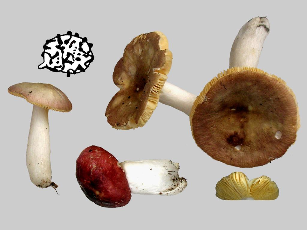 Russula cessans (door Jaap Wisman)